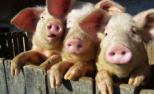 Pesta porcină africană este un act de bioterorism!