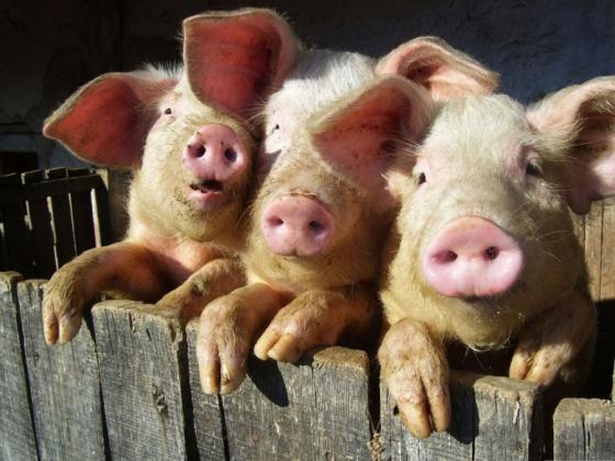Pesta porcina africană este un act de bioterorism!