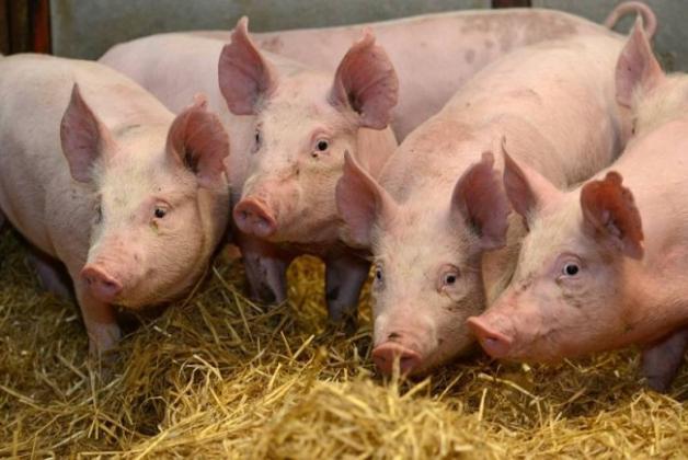 13 organizaţii pichetează Ministerul Agriculturii! Opriți jaful provocat cu pesta porcină africană!