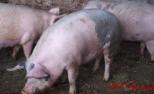 500.000 de porci din gospodăriile ţărăneşti nu pot fi vânduţi!